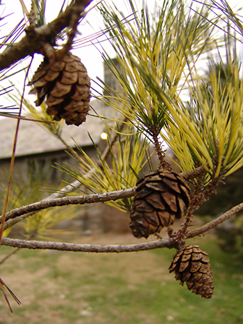 cones and variegated needles