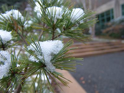 pine needles in snow