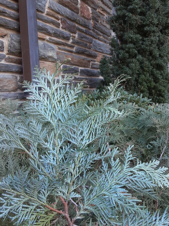 Thuja koraiensis foliage