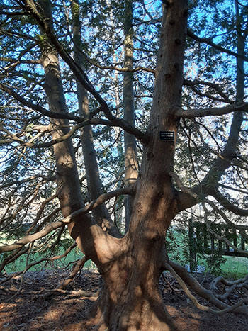 Large branches