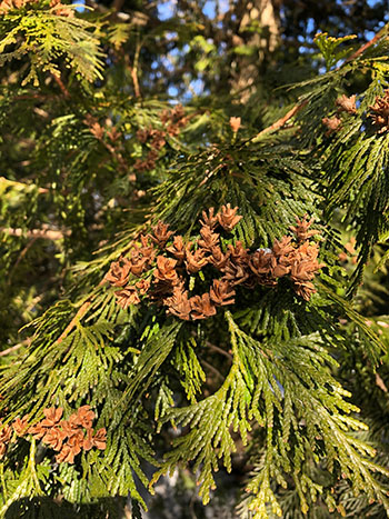cones and foliage of Thuja