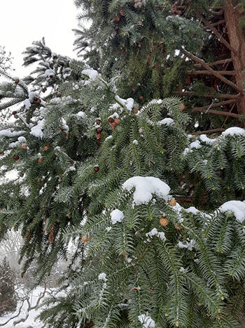 evergreen in snow