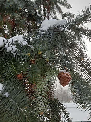 evergreen cones