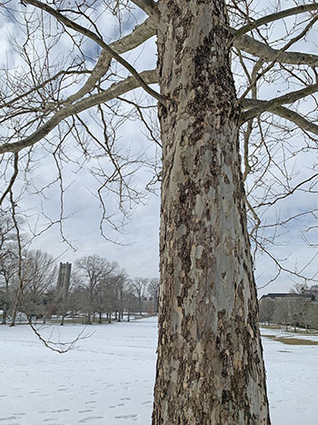 sycamore with bell tower in the background.