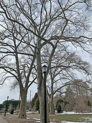 large specimen trees