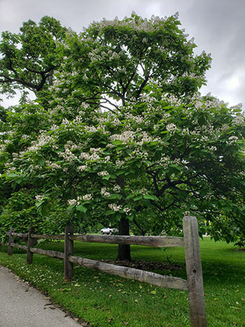 Catalpa bignonioides, the southern catalpa, is a large asymmetric tree with broad cordate foliage and a lush array of white flowers.