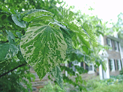 The splashy leaves are great for adding visual pop to your garden.