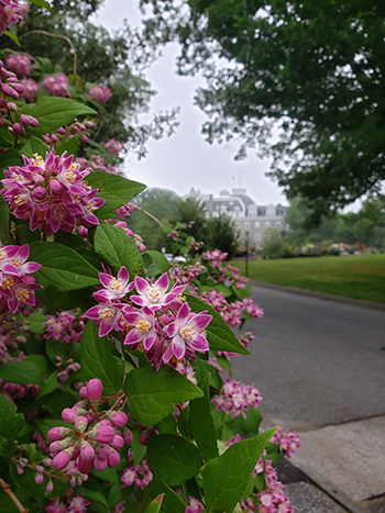 Deutzia x hybrida 'Magicien', commonly known as deutzia, is a bushy shrub 4-6 feet tall that produces a stunning array of light-pink to dark-pink star-shaped flowers that adorn the entire plant for about two weeks.