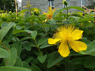 Hypericum calycinum, or creeping St. John's wort, is a vibrant yellow-flowering low-growing shrub that is a great groundcover tolerant of both shade and sun.