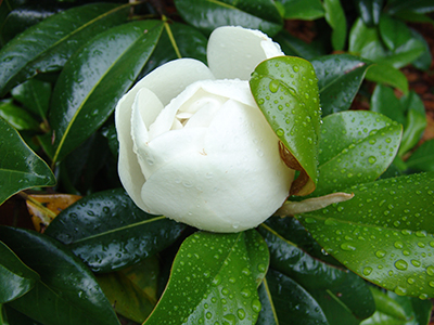 In the early summer, large, cream-white, fragrant flowers begin to bloom, attracting bumble bees and honey bees.
