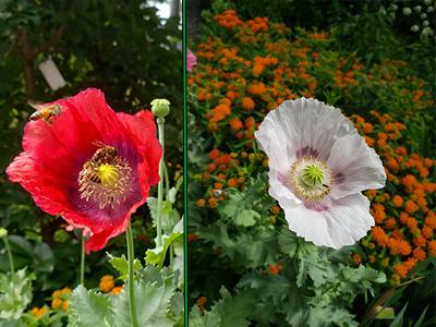 the opium poppy