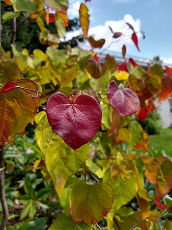 Cercis canadensis 'NC2016-2' [Flame ThrowerⓇ] is a cultivar of native eastern redbud, a midsize understory tree with heart-shaped leaves and bright pink or purple spring blooms.