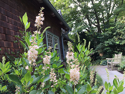 Now as we approach late summer, the buds of Clethra alnifolia are hinting with the faintest pale blush pink, and have begun to open white, spikes of bottlebrush flowers.