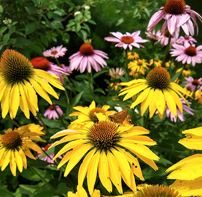Echinacea purpurea, coneflower, is a nativeperennial in the eastern and central United States.