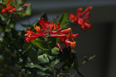 Lonicera sempervirens 'Leo', our native trumpet honeysuckle vine, is another hummingbird magnet.