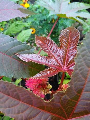 Castor bean plants have glossy, star-shaped leaves, and the 'Carmencita' plant has pink veins and a maroon tint.