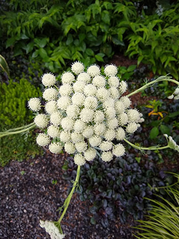 t resembles a common edible carrot (Daucus carota), but with a few twists.