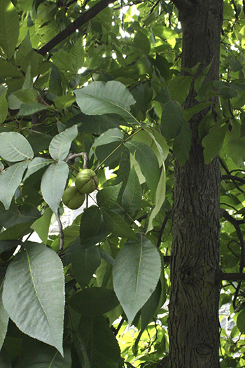 Walking past the Carya ovata (shagbark hickory) in front of the Science Center, it's hard to miss the large light-green fruits that are forming on its branches.