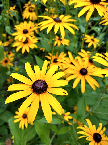 It is easily recognizable by its structural resemblance to a daisy, courtesy of being in the Asteraceae family, and its golden yellow petals offset by a black center.